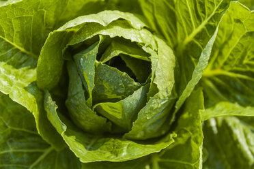 Detail of romaine lettuce - TCF05463