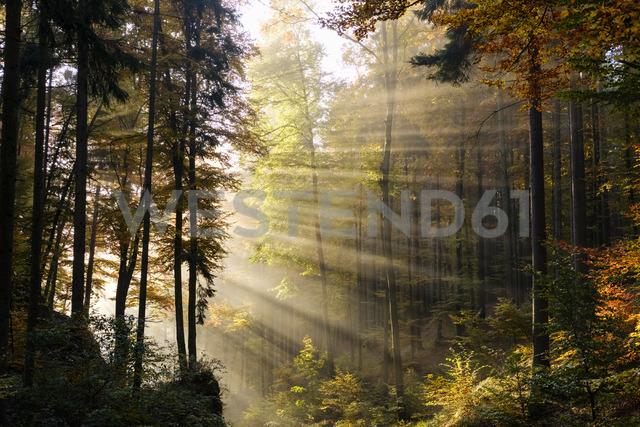 Germany, Bavaria, Lower Bavaria, Altmuehl Valley, forest, autumn, morning fog - SIEF07688 - Martin Siepmann/Westend61