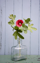 hollyhock in glass bottle - GISF00299