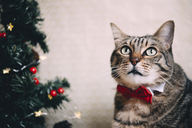 Portrait of tabby cat with collar and red bow tie at Christmas time - GEMF01849