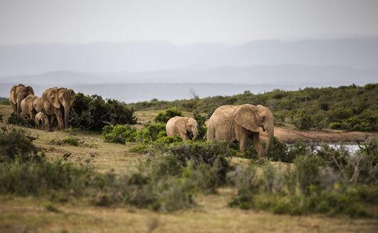 South Africa, Eastern, Cape, Addo Elephant National Park, african elephants, Loxodonta Africana - CVF00084