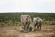 South Africa, Eastern, Cape, Addo Elephant National Park, african elephants, Loxodonta Africana - CVF00087