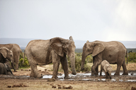 South Africa, Eastern, Cape, Addo Elephant National Park, african elephants, Loxodonta Africana - CVF00090