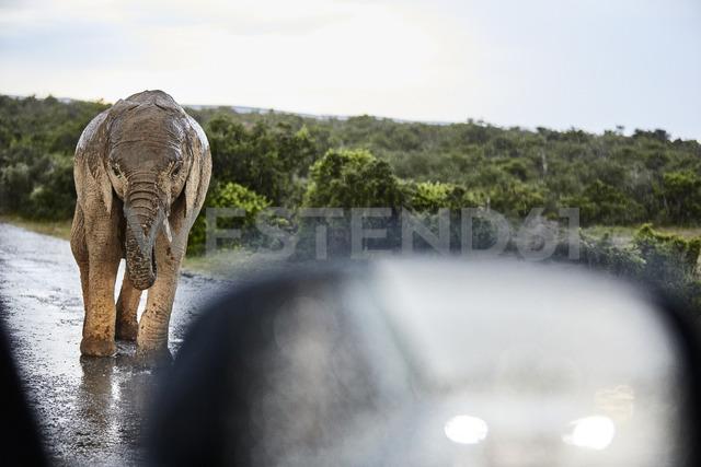 South Africa, Eastern, Cape, Addo Elephant National Park, african elephant, Loxodonta Africana - CVF00093