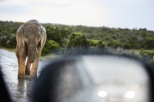 South Africa, Eastern, Cape, Addo Elephant National Park, african elephant, Loxodonta Africana - CVF00093