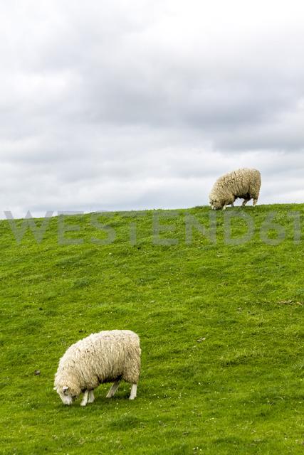 Germany, Schleswig-Holstein, Husum, sheep on dike - PUF01179