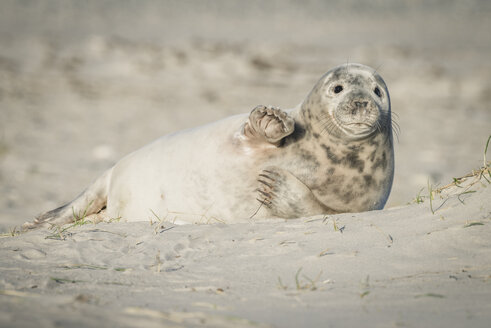 Germany, Helgoland, grey seal pup lying on the beach - KEBF00712