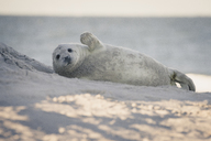 Germany, Helgoland, grey seal pup lying on the beach - KEBF00718
