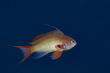 Egypt, Red Sea, Hurghada, jewel fairy basslet - YRF00185