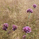 grass and purple flowers - NGF00445