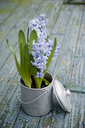 Flower decoration, hyacinth in metal pot - GISF00309