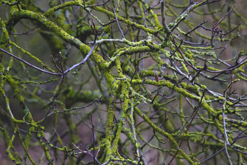 Germany, branches, moss-grown in winter - JTF00897