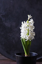 Potted white hyacinth - CSF28875