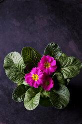 Pink primrose - CSF28878