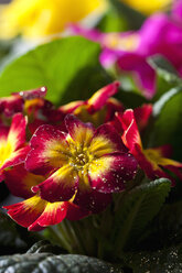 Red and yellow primrose, close-up - CSF28881