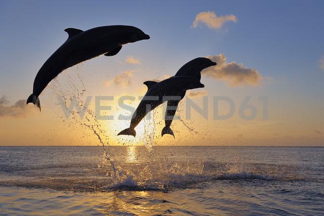 Bottlenose dolphins, Tursiops truncatus, jumping in caribbean sea at sunset - RUEF01796