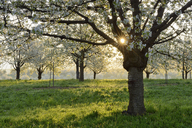 Germany, Black Forest, blossoming cherry trees in the morning - RUEF01802