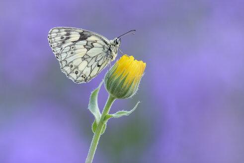 Marbled White, Melanargia galathea sitting on yellow flower - RUEF01805