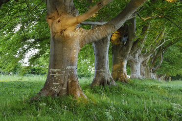 Great Britain, England, Dorset, Old beech trees in a row - RUEF01826