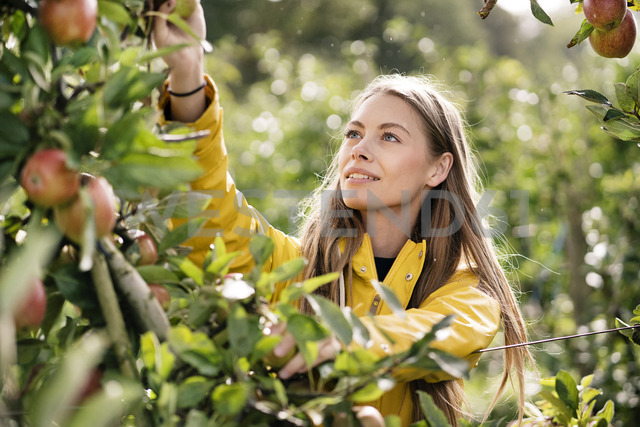 Smiling woman harvesting apples from tree - PESF00953 - Peter Scholl/Westend61