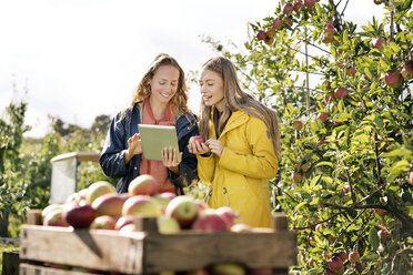 Two smiling women using tablet in apple orchard - PESF00962