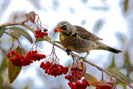 Fieldfare eating rowan berries - JTF00901