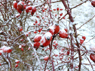 Snow covered rose hips - JTF00902