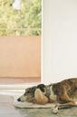 Greyhound lying on towel in front of open balcony door - SKCF00331