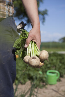 Midsection of mature man holding freshly harvested radishes at vegetable garden - FSIF00175