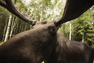 Close-up of reindeer in forest - FSIF00316