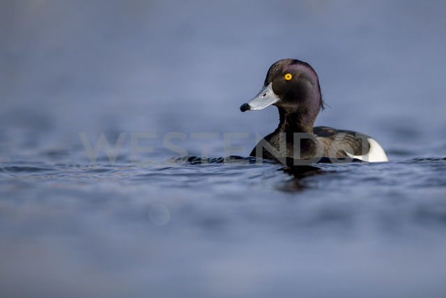 UK, Scotland, swimming tufted duck - MJOF01469
