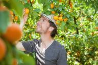 A man picking an apricot off an apricot tree - FSIF00376
