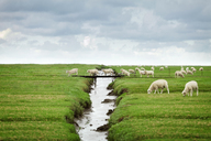 Flock of sheep crossing footbridge in Schleswig Holstein, Germany - FSIF00601