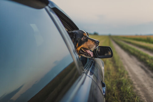 Border Collie looking through car window - FSIF00952
