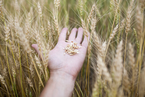 Close-up of hand holding wheat at farm - FSIF01515