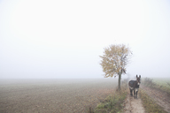 Donkey standing on road amidst field during foggy weather - FSIF01536