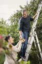 Happy man on ladder picking pears from tree with woman in orchard - FSIF02187