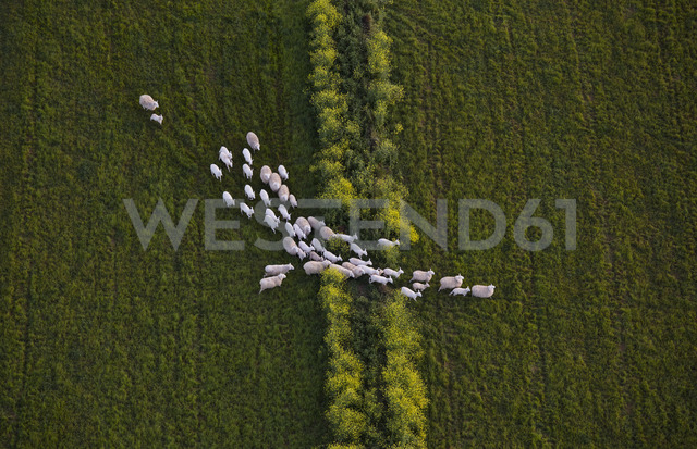 Directly above shot of sheep walking on grassy field - FSIF02295 - fStop/Westend61