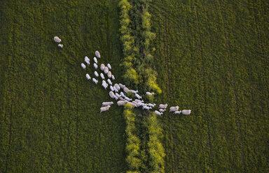 Directly above shot of sheep walking on grassy field - FSIF02295