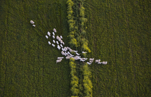 Directly above shot of sheep walking on grassy field - FSIF02295
