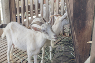 Two white goats in stable - AFVF00129