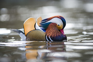 UK, Scotland, swimming male Mandarin duck - MJOF01472