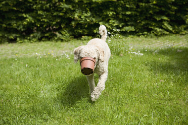A dog walking with a flower pot stuck on his snout - FSIF02715