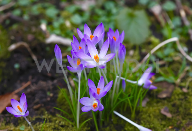 Crocuses, Crocus - JTF00920