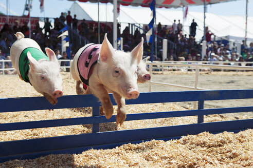 Pig race at the fair - FSIF02837