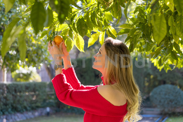 Smiling young woman picking mandarin from tree in a garden - AFVF00191