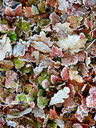 Hoarfrost, ice covered leaves - JTF00927