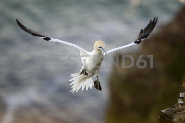 UK, Scotland, flying Northern gannet - MJOF01473