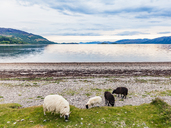 United Kingdom, Scotland, Loch Linnhe, Cuil, Cuil Bay, Scottish Blackface - WDF04451