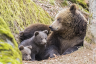 Germany, Bavarian Forest National Park, animal Open-air site Neuschoenau, brown bear, Ursus arctos, mother animal with young animals - FOF09874